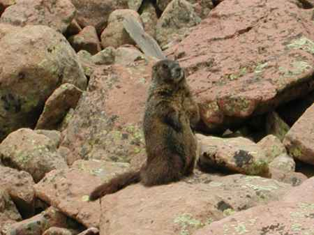 A Marmot on the rocks at 13,750 feet