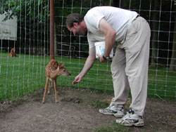 Giving some corn to one of the fawns