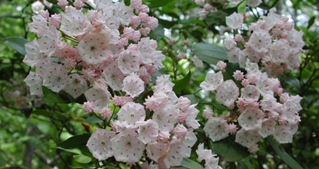 Large group of mountain laurels in bloom