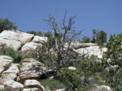Another scrub tree, this one in the rocks